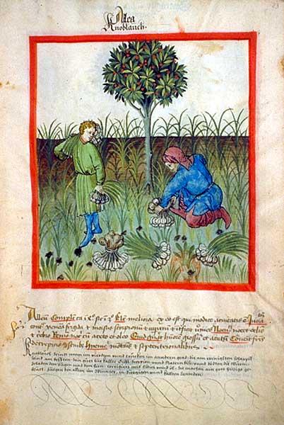 Tacuinum_sanitatis-garlic